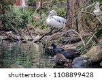 australian pelican and ducks... | Shutterstock . vector #1108899428