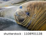 juvenile elephant seals lie in... | Shutterstock . vector #1108901138