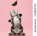 Stock photo fluffy gray beautiful kitten breed scottish straight look up and catch butterfly on pink 110890754