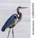 Great Blue Heron Facing Right...