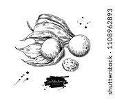 Physalis Fruit Vector Drawing....