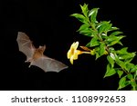 orange nectar bat  lonchophylla ...   Shutterstock . vector #1108992653