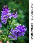 Small photo of Flowers of alfalfa in the field.Medicago sativa.