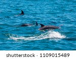 pod of dolphins in bay of... | Shutterstock . vector #1109015489