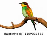 exotic bird sitting on a branch ... | Shutterstock . vector #1109031566