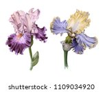 Two Iris. Isolated On White...