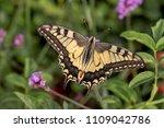 butterfly swallowtail  papilio... | Shutterstock . vector #1109042786