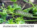 butterfly caterpillar... | Shutterstock . vector #1109042789
