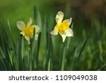 narcissus on the flowerbed in... | Shutterstock . vector #1109049038