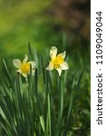 narcissus on the flowerbed in... | Shutterstock . vector #1109049044