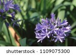 Close Up Of Purple Agapanthus...