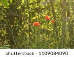 Underbrush And Poppies  Sunny...