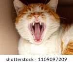 canine tooth cat | Shutterstock . vector #1109097209