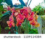 orchids flower  orchids closed... | Shutterstock . vector #1109114384