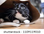 Stock photo black and white cat in a paper bag shallow focus on tip of nose 1109119010