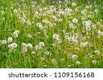 summer white dandelions in the... | Shutterstock . vector #1109156168