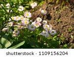 little white aster flowers in... | Shutterstock . vector #1109156204