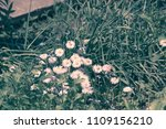 little white aster flowers in... | Shutterstock . vector #1109156210
