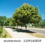 tree blooming linden. spring... | Shutterstock . vector #1109160839