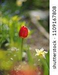 tulips on the flowerbed in... | Shutterstock . vector #1109167808
