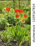 tulips on the flowerbed in... | Shutterstock . vector #1109167814