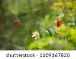 tulips on the flowerbed in... | Shutterstock . vector #1109167820