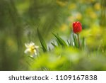tulips on the flowerbed in... | Shutterstock . vector #1109167838
