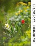 tulips on the flowerbed in... | Shutterstock . vector #1109167844