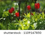tulips on the flowerbed in... | Shutterstock . vector #1109167850