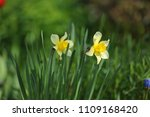 narcissus on the flowerbed in... | Shutterstock . vector #1109168420
