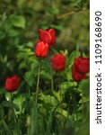 red tulips on the flowerbed in... | Shutterstock . vector #1109168690
