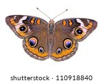 A Beautiful Buckeye Butterfly ...