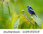 red legged honeycreeper ... | Shutterstock . vector #1109192519