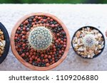 Small photo of Mammillaria Blind spot