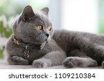 cat   british shorthair   gris... | Shutterstock . vector #1109210384