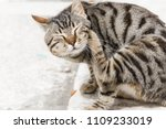 Stock photo a cat scratching itself 1109233019