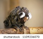 A Common Marmoset Monkey Mothe...