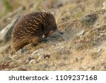 echidnas sometimes known as... | Shutterstock . vector #1109237168