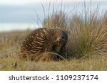 echidnas sometimes known as... | Shutterstock . vector #1109237174