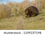 echidnas sometimes known as... | Shutterstock . vector #1109237198