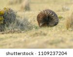 echidnas sometimes known as... | Shutterstock . vector #1109237204