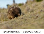 echidnas sometimes known as... | Shutterstock . vector #1109237210