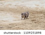 Small photo of A small manul runs through the sand