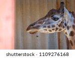portrait of a giraffe or...   Shutterstock . vector #1109276168