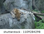 amur leopard on a rock | Shutterstock . vector #1109284298