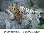 amur leopard on a rock | Shutterstock . vector #1109284304