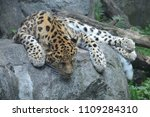 amur leopard on a rock | Shutterstock . vector #1109284310