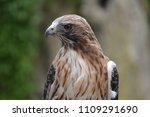 red tail hawk | Shutterstock . vector #1109291690
