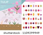 tulip varieties flat icon set.... | Shutterstock .eps vector #1109299949