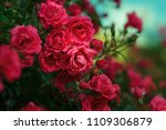 blooming roses and buds on a... | Shutterstock . vector #1109306879